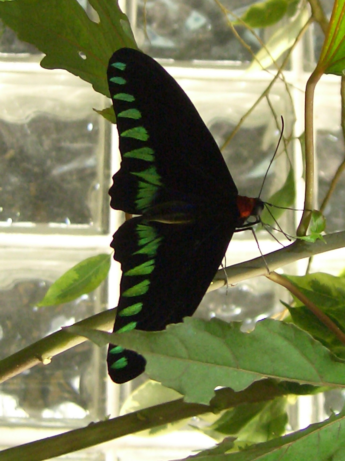 Butterfly genus species - Queen Alexandra's Birdwing